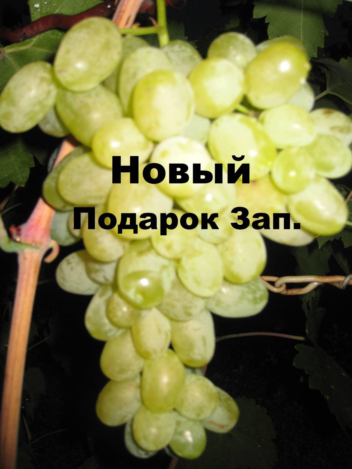 Описание винограда подарок запорожью 371